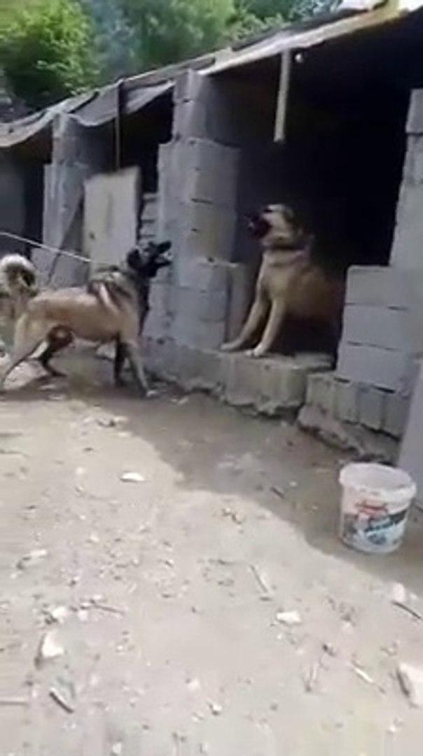 KANGAL KOPEKLERiNDEN SERT VS - KANGAL SHEPHERD DOGS VS