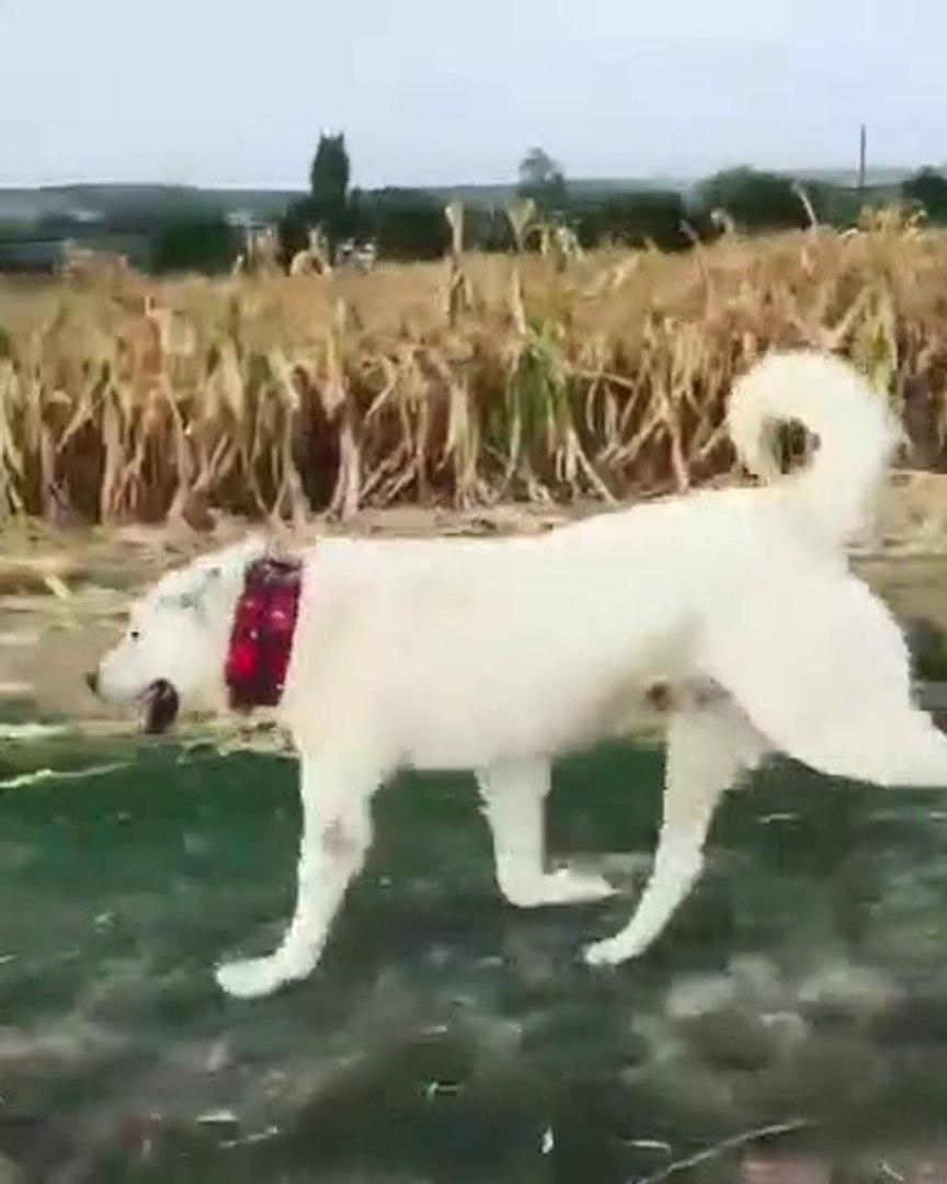 AKBAS COBAN KOPEGi ile OGLEN SPORU - AKBASH SHEPHERD DOG with SPORT