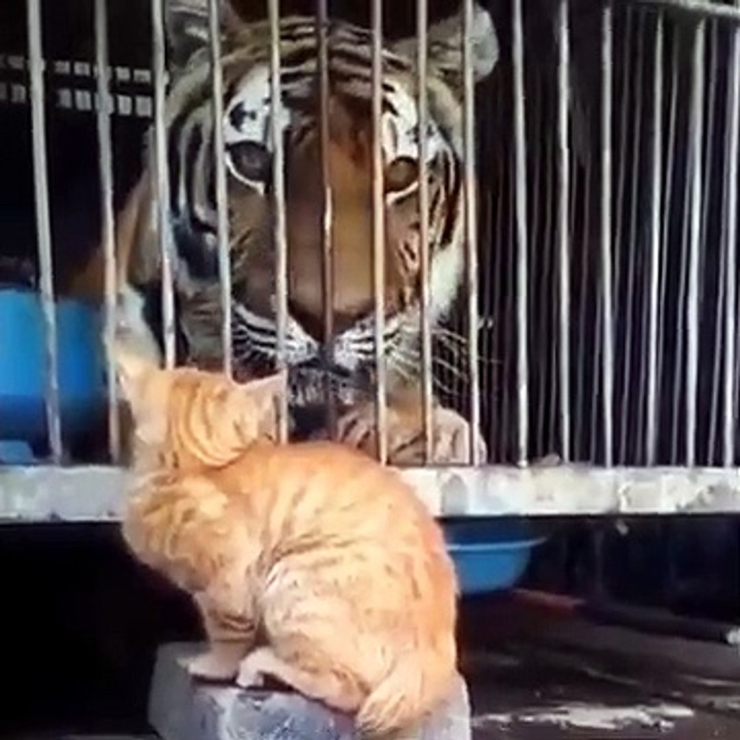 Cute tiger and cat video