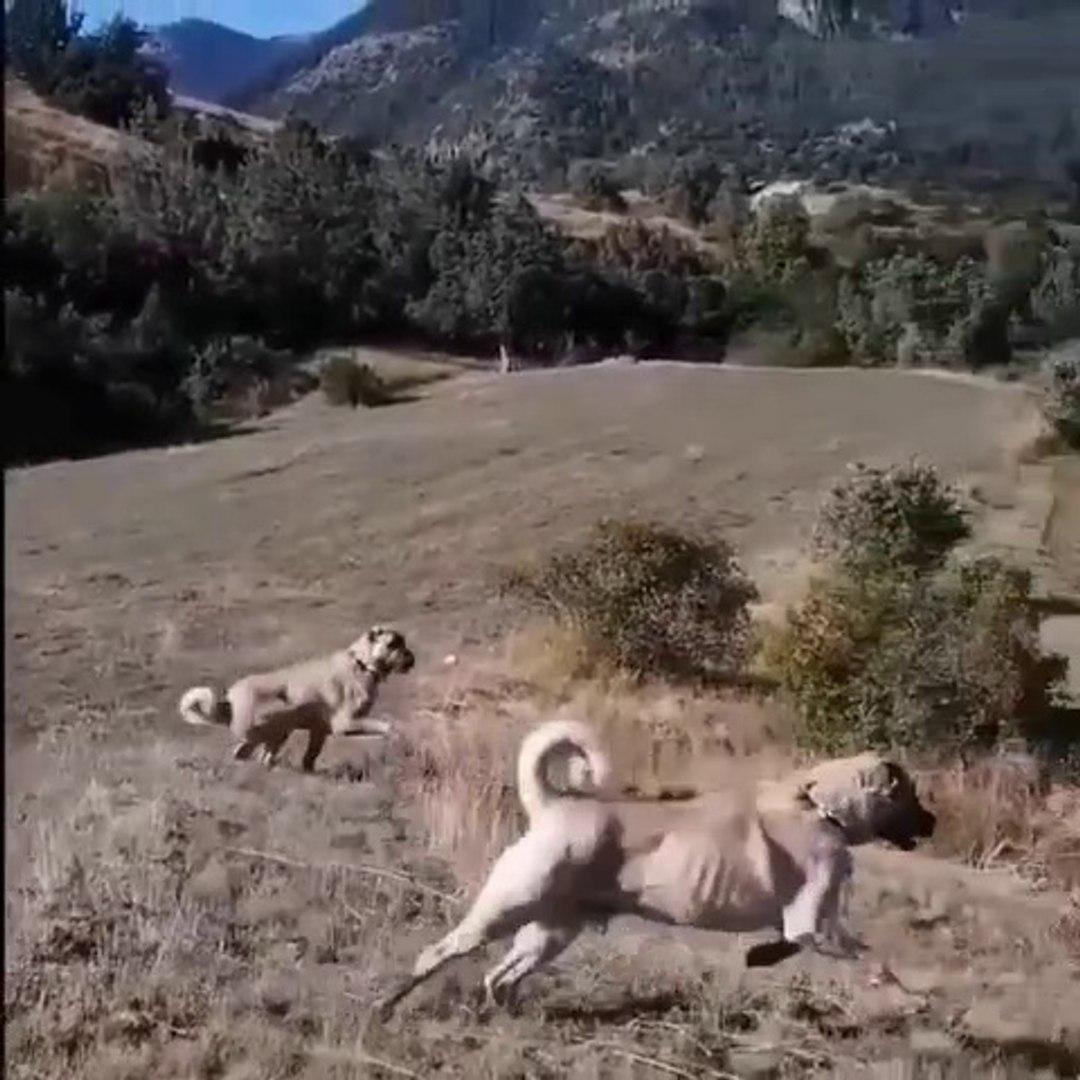 SiVAS KANGAL KOPEKLERiNiN RADARINA KURT GiRERSE - KANGAL SEHEPHERD DOGS