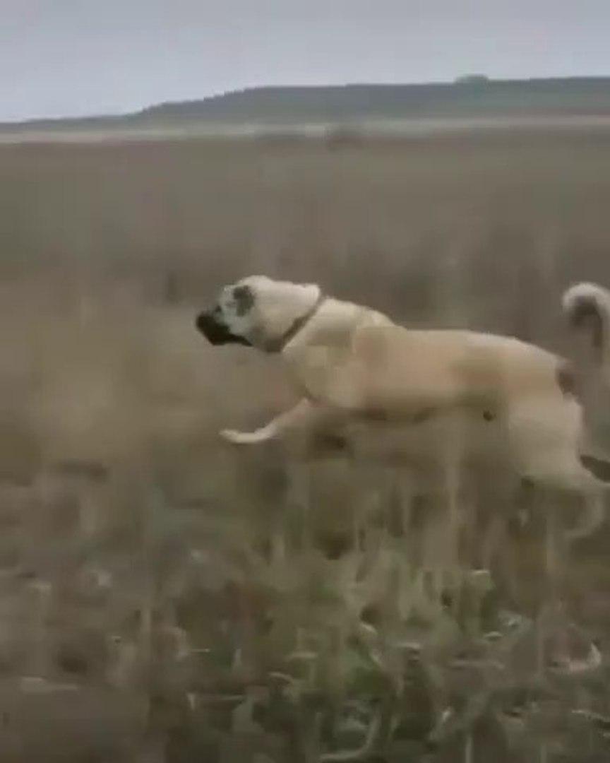 KANGAL KOPEGi FiSEK GiBi ATILIYOR - KANGAL SHEPHERD DOG