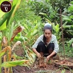 Dig Turmeric in my homeland - Healthy vegetable