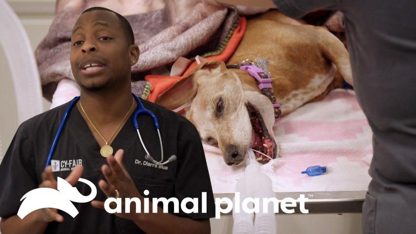 Diagnóstico de câncer agressivo em cadela de 16 anos | Veterinários do Texas | Animal Planet Brasil