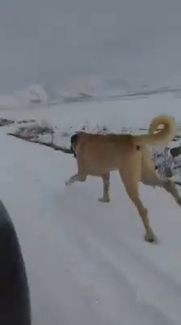ANADOLU COBAN KOPEGiNE KARDA SPOR - ANATOLiAN SHEPHERD DOG and SNOW SPORT