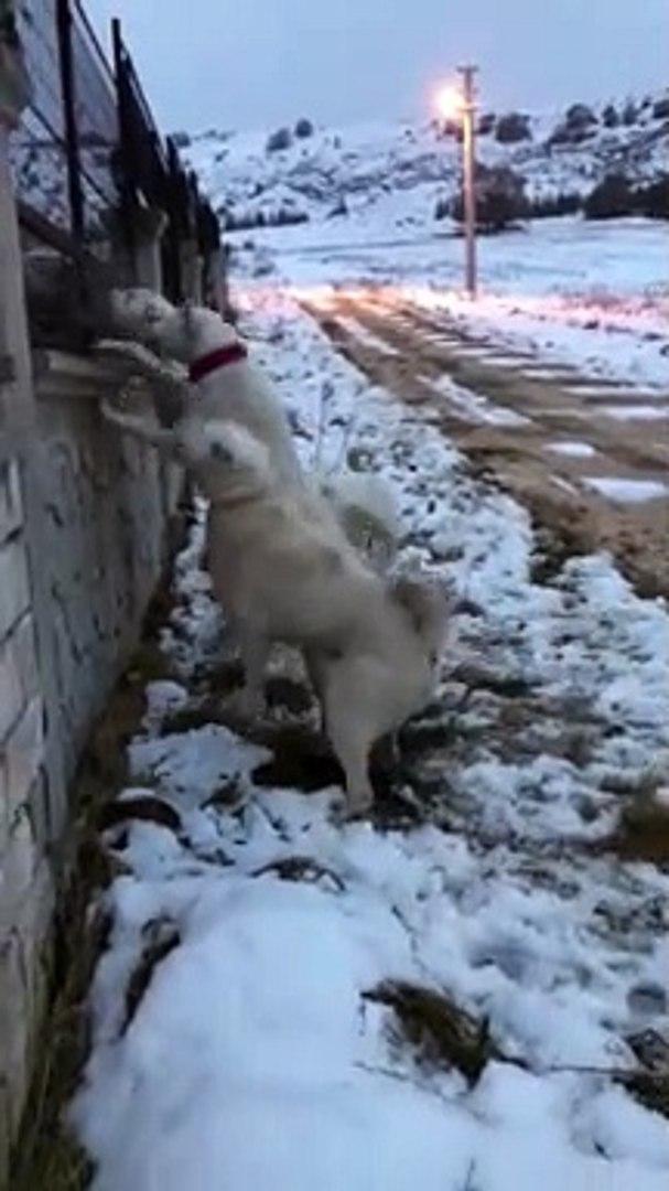 AKBAS COBAN KOPEKLERiNDEN OPERASYON VAR BU GECE - AKBASH SHEPHERD DOGS