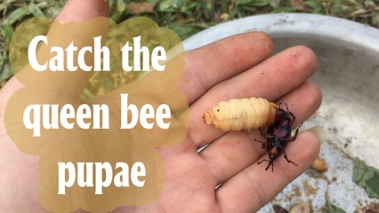 Let's see how the tribe of the knives caught the queen bee pupae in Vietnam   Hẻm radio