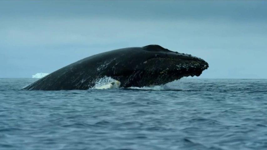 Le repas des baleines à bosses