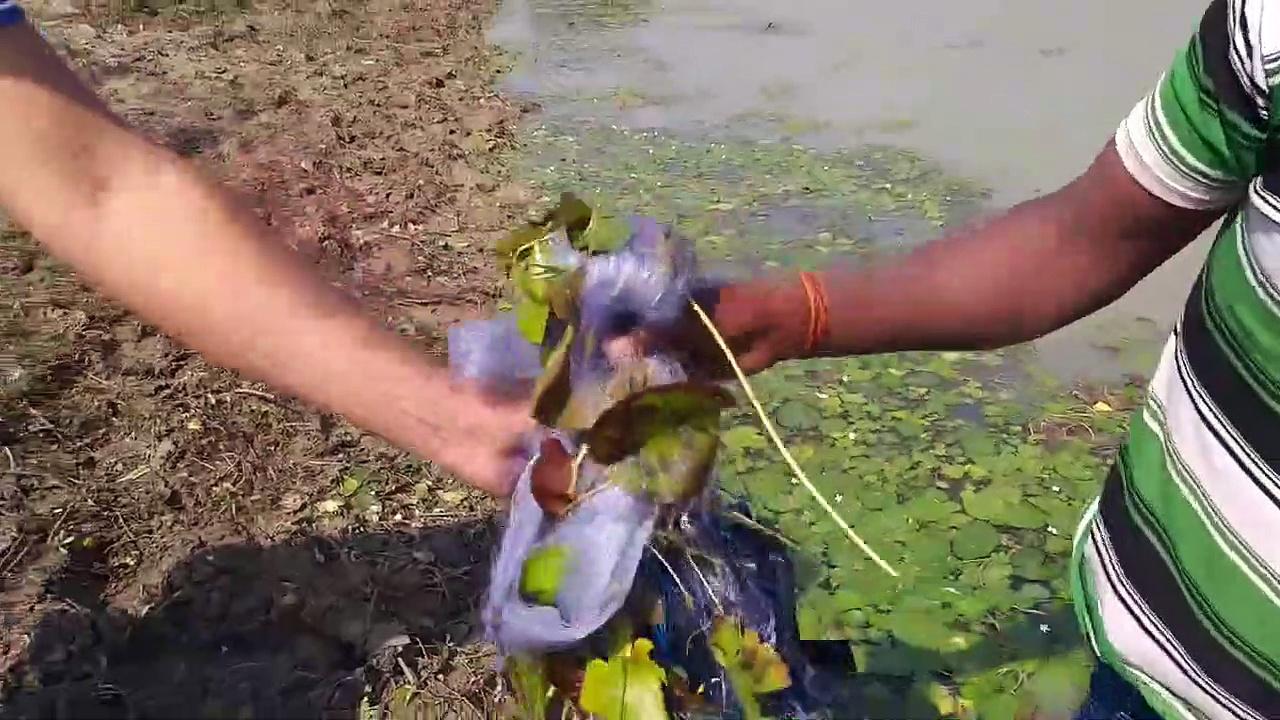 Small fishing in the pond by using hanging nets…ফাঁসি জালের মাধ্যমে ছোটো মাছ ধরা ..