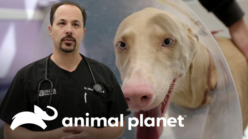 Dr. Michael Lavigne estava fascinado por este doberman branco | Veterinários do Texas | Animal Planet Brasil