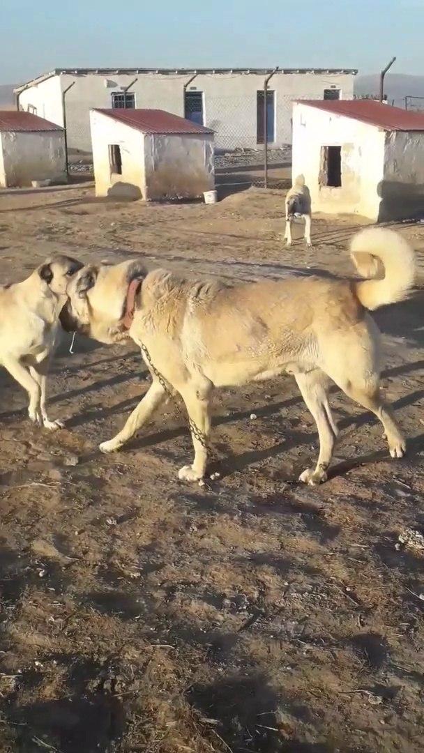 KANGAL KOPEK CiFTLiGiNDE AGIR ATISMA - KANGAL SHEPHERD DOGS FARM