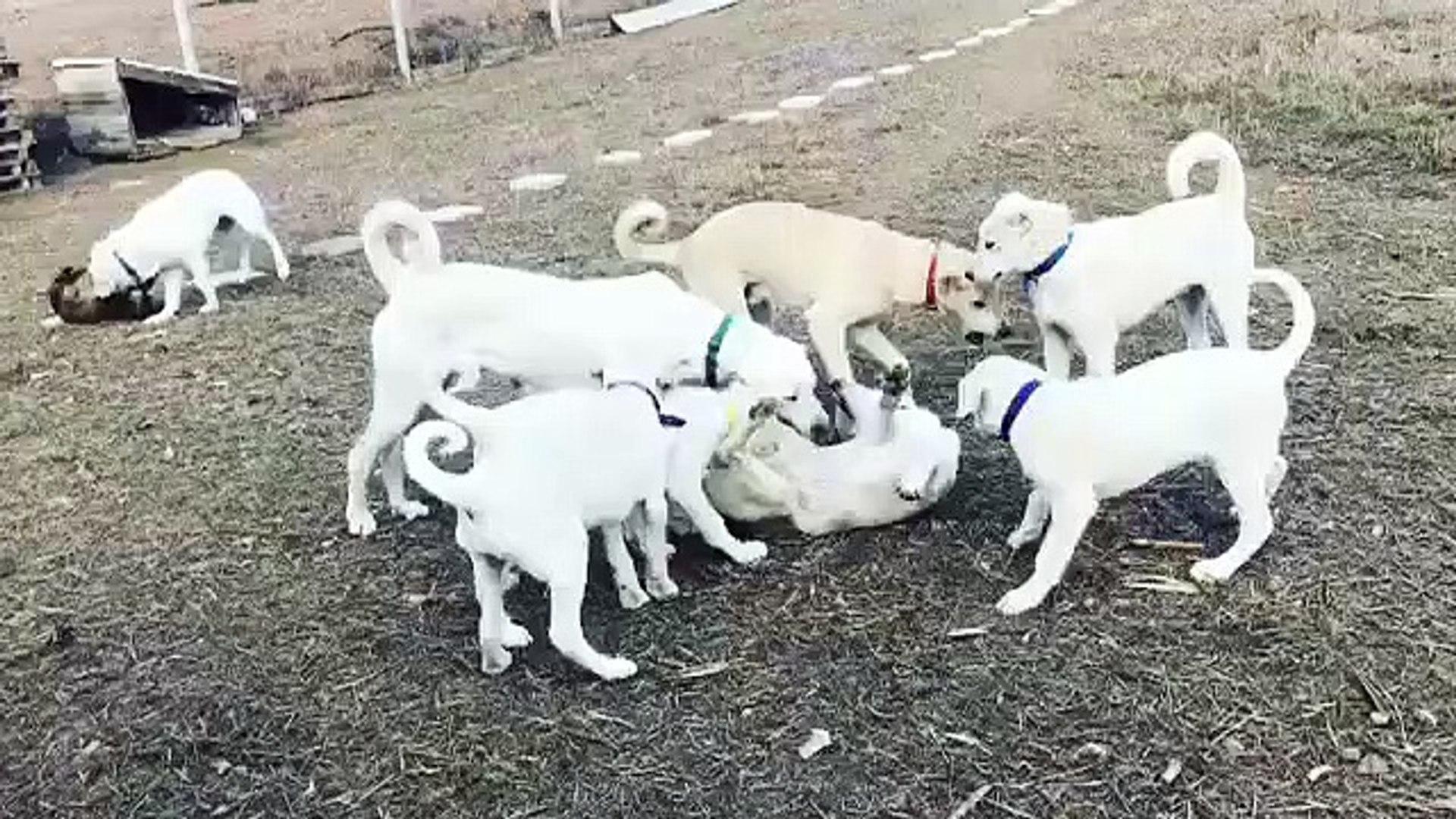 ESKiSEHiR AKBAS COBAN KOPEK YAVRULARI OYUNDA - AKBASH SHEPHERD DOG PUPPiES
