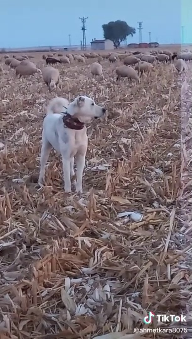 AKBAS ve COBAN KOPEGi GOREVi BASINDA - AKBASH DOG and SHEPHERD DOG at MiSSiON