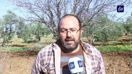 مزارعو اللوزيات في خرجا يشكون صعوبة تسويق منتجاتهم