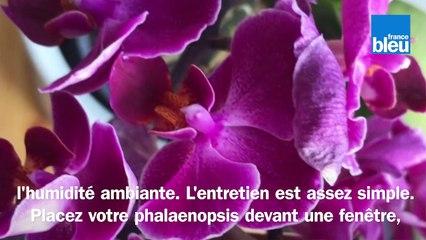 Roland Motte, jardinier : entretenir votre phalaenopsis, votre orchidée papillon