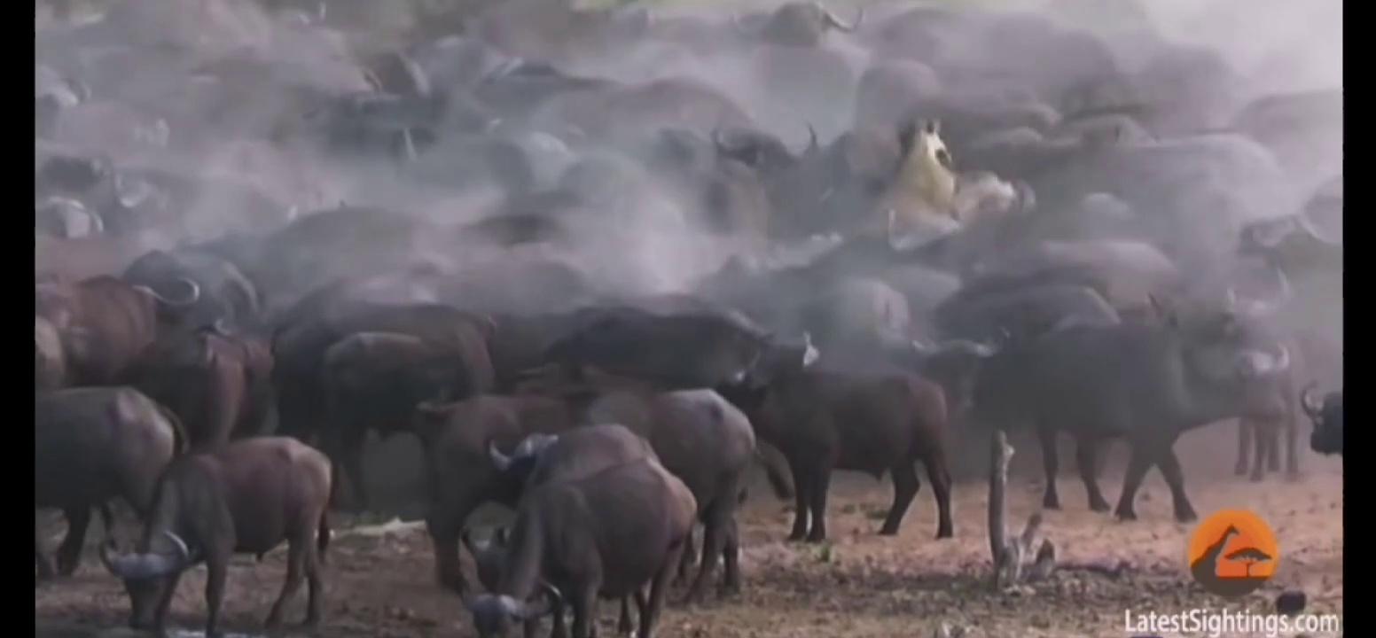 Stampeding Buffaloes Trample Lion