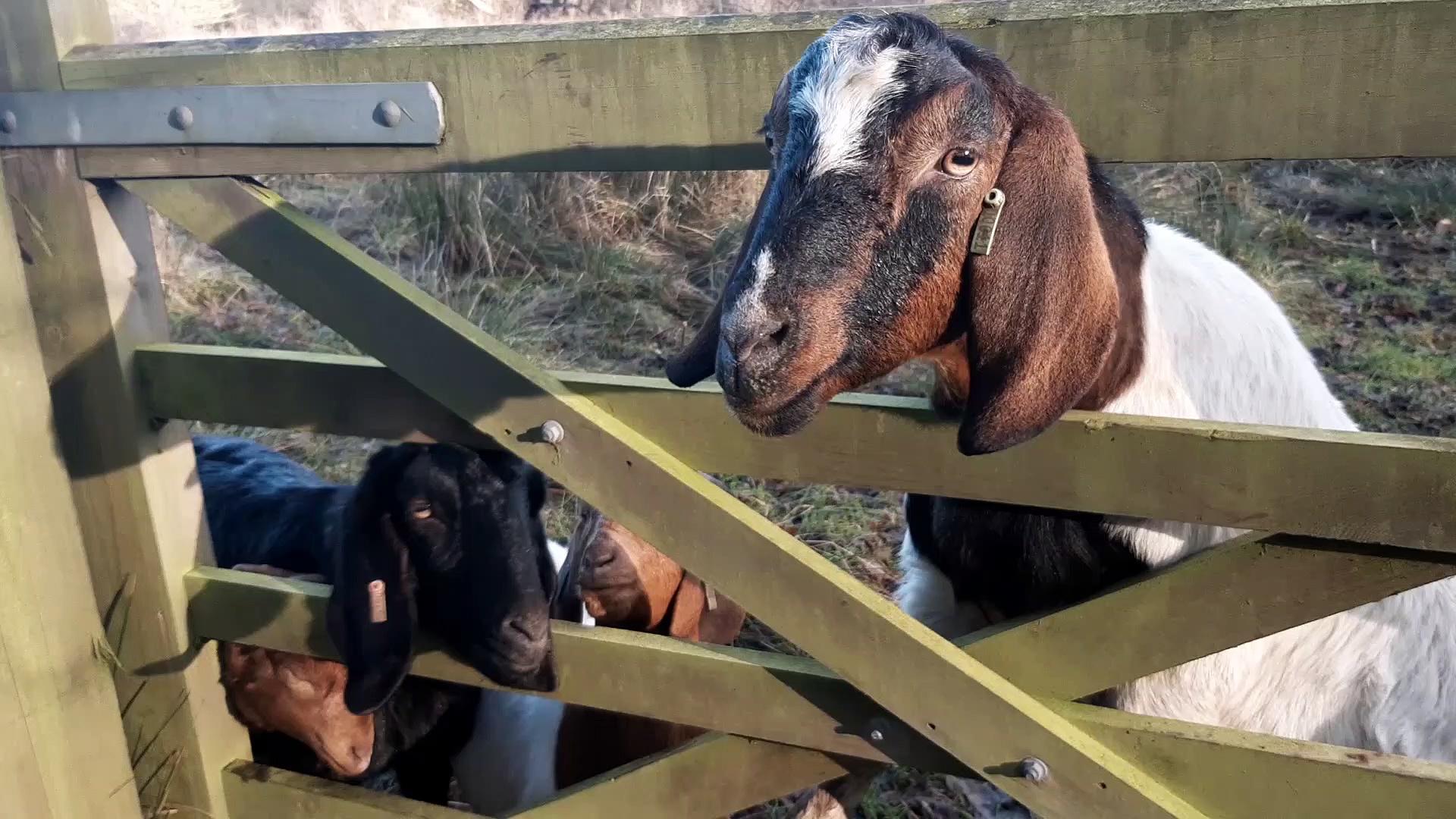 Tophill goats