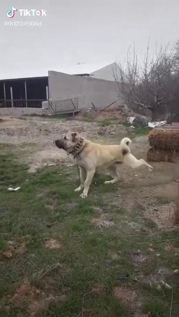 TOPRAK KAZAN 4 4 ANADOLU COBAN KOPEGi - 4 4 ANATOLiAN SHEPHERD DOG