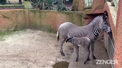 Adorable Baby Zebra Born in French Zoo