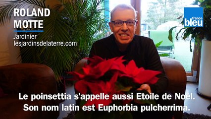 Roland Motte, jardinier : entretenir son poinsettia ou Etoile de Noël