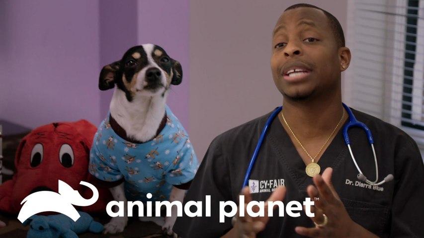 Dr. Blue salva a un chihuahua con un soplo en su corazón | Veterinários do Texas | Animal Planet Brasil