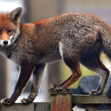 A fox gets lost in the streets of Dublin