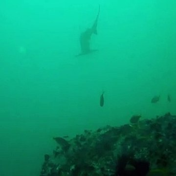 Woman trapped under 200 hammerhead sharks while diving
