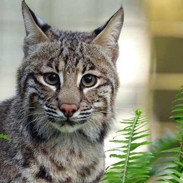 Nice Bobcat VS Mean Bobcat