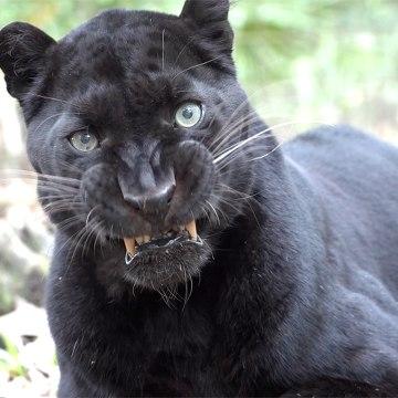 Silly Black Leopard