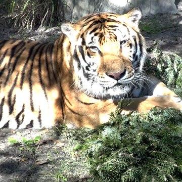 Tiger VS Christmas Tree