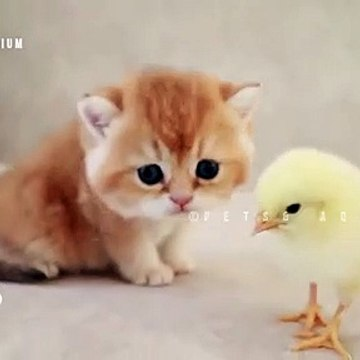 So cute baby Kitten walks and plays  with a tiny chicken☺️
