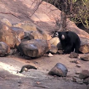 Sloth Bear family in the wild in India