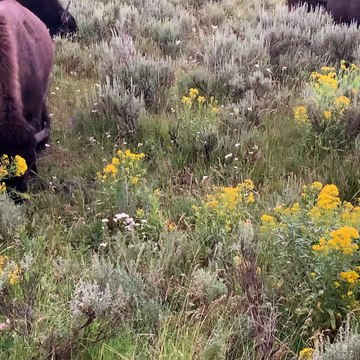 Close Encounter with Some Beautiful Buffalo
