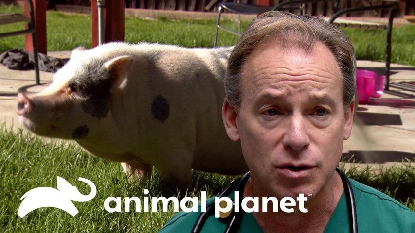 Porquinha precisa perder peso para melhorar locomoção | Veterinários do Texas | Animal Planet Brasil