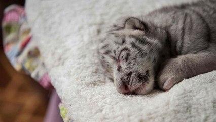 """Murió """"Nieve"""", la primera tigresa blanca nacida en cautiverio en Nicaragua"""