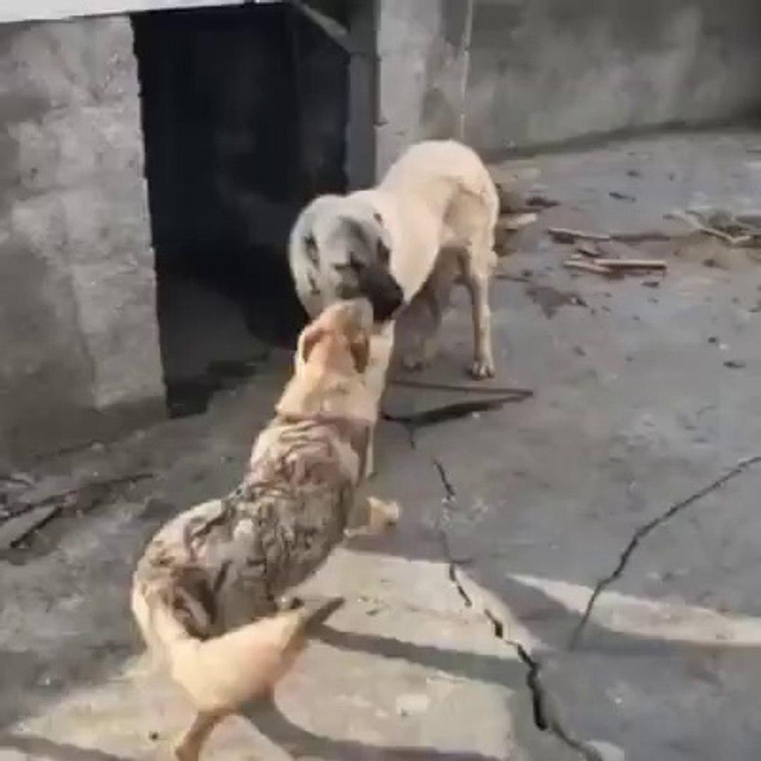 KANGAL ve WOLFDOG KARSI KARSIYA GELDi - KANGAL DOG and WOLFDOG