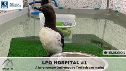 LPO HOSPITAL #1 À la rencontre Guillemot de Troïl (oiseau marin)