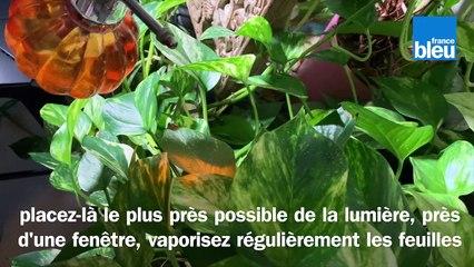 Roland Motte, jardinier, le scindapsus, une plante d'intérieur qui grimpe partout