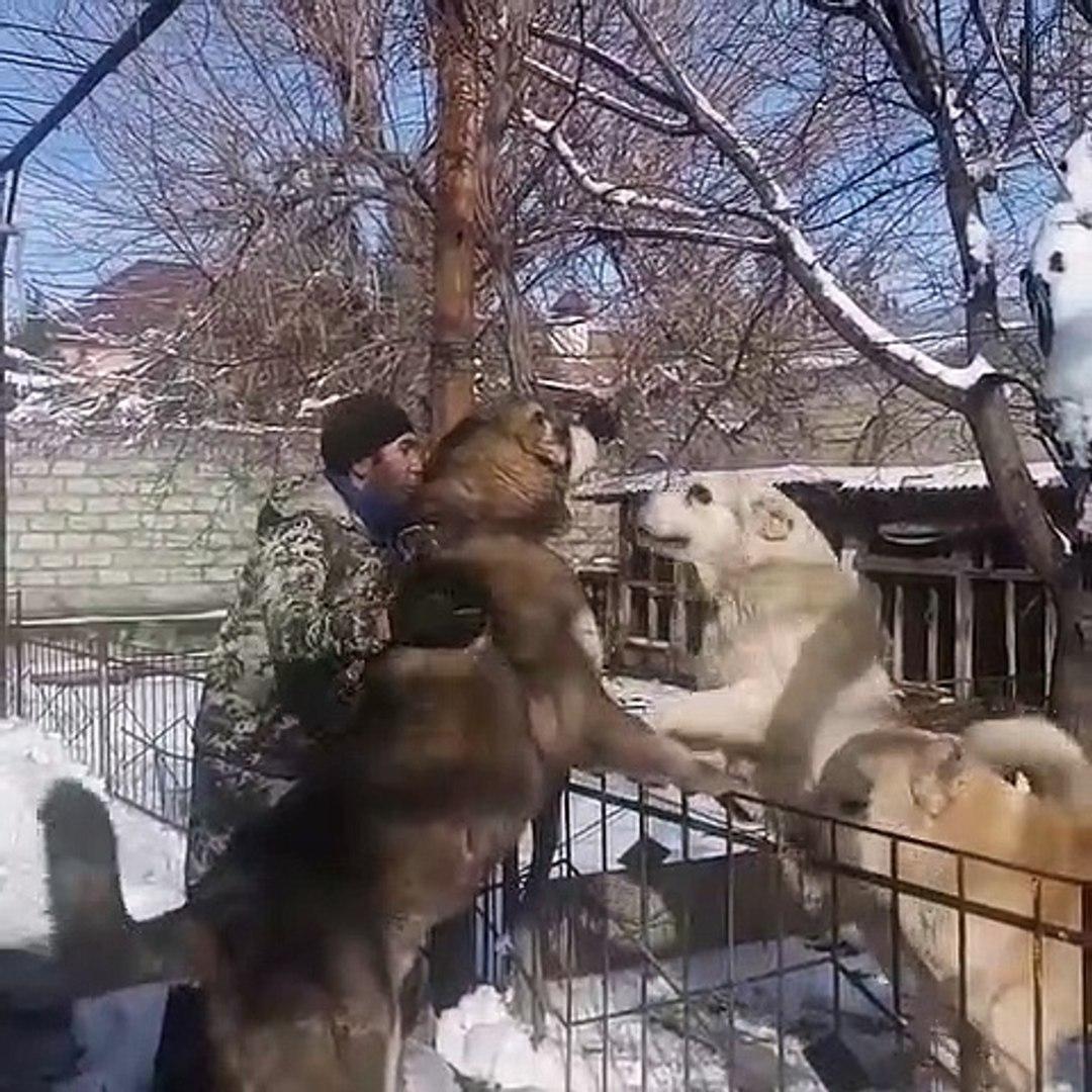 RUSYADA DEV VOLKODAV COBAN KOPEKLERi - RUSSiA GiANT VOLKODAV SHEPHERD DOGS