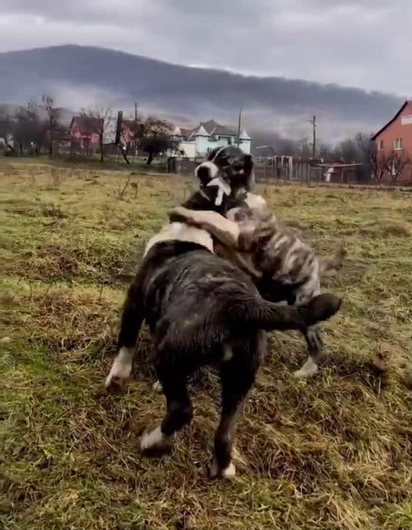 CAPAR ALABAY COBAN KOPEKLERi YAVRULARI - ALABAi SHEPHERD DOG PUPPiES