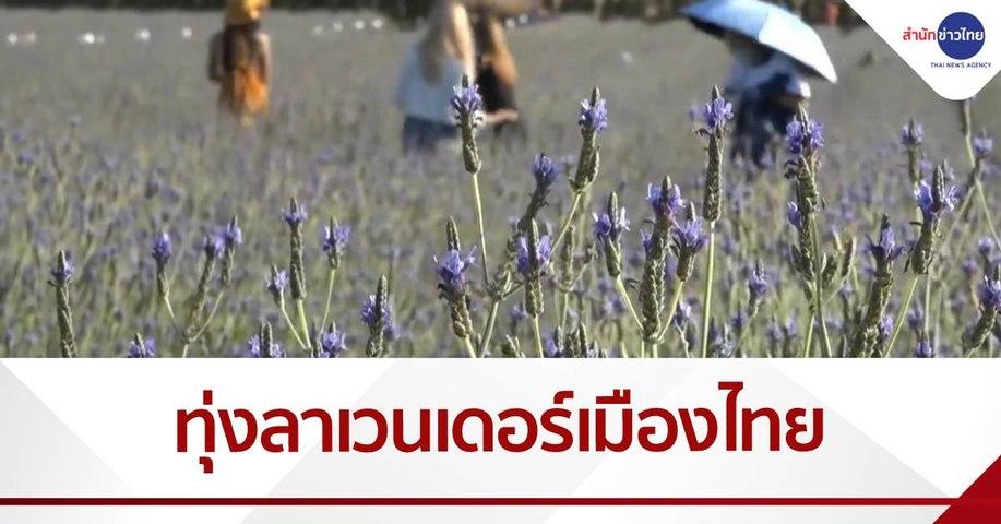 ทุ่งลาเวนเดอร์ ใหญ่สุดในเมืองไทย