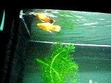mon premier aquarium avec couple de platy eaux douce