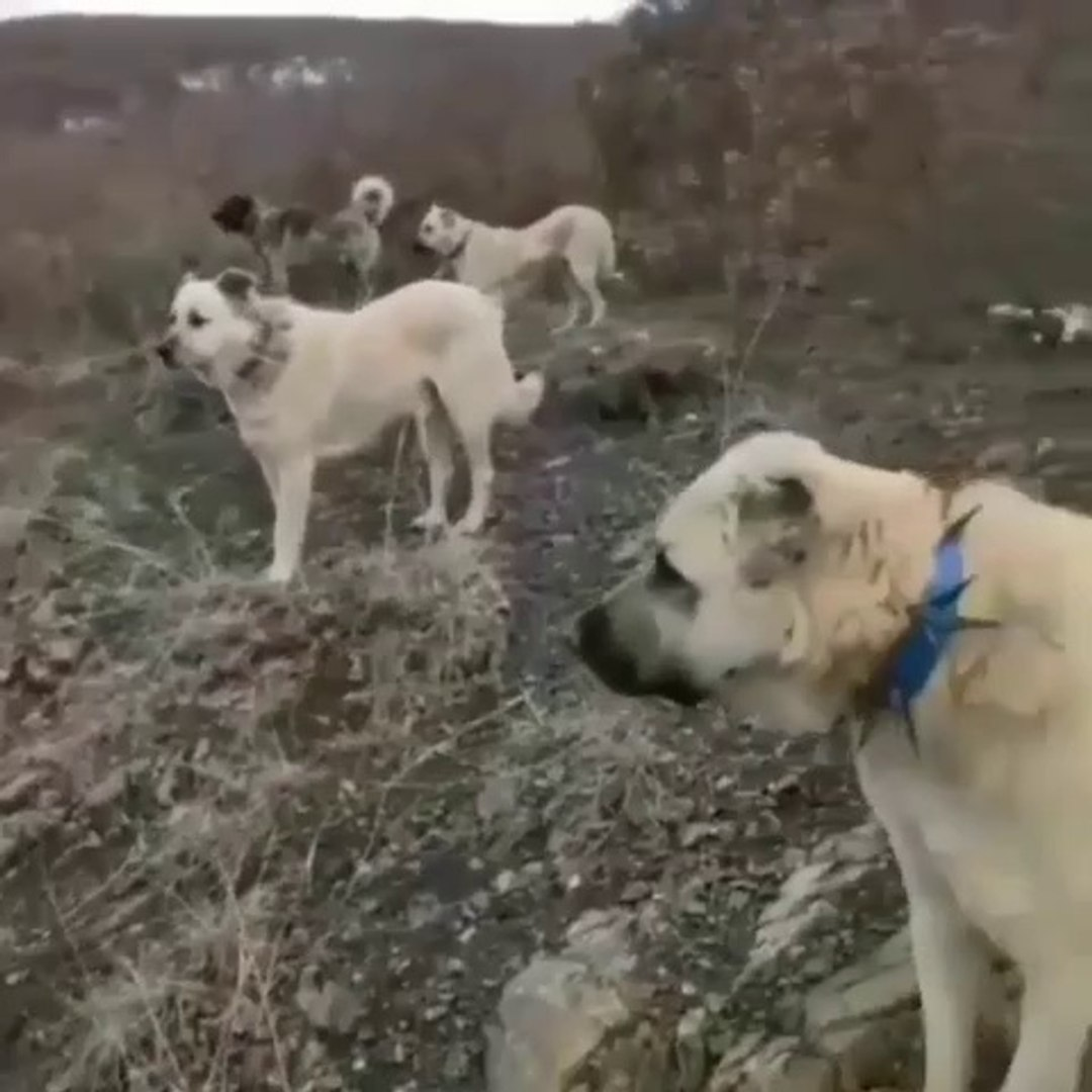 KANGAL ve COBAN KOPEKLERi DAGLARDA - KANGAL and SHEPHERD DOGS at MOUNTAiN