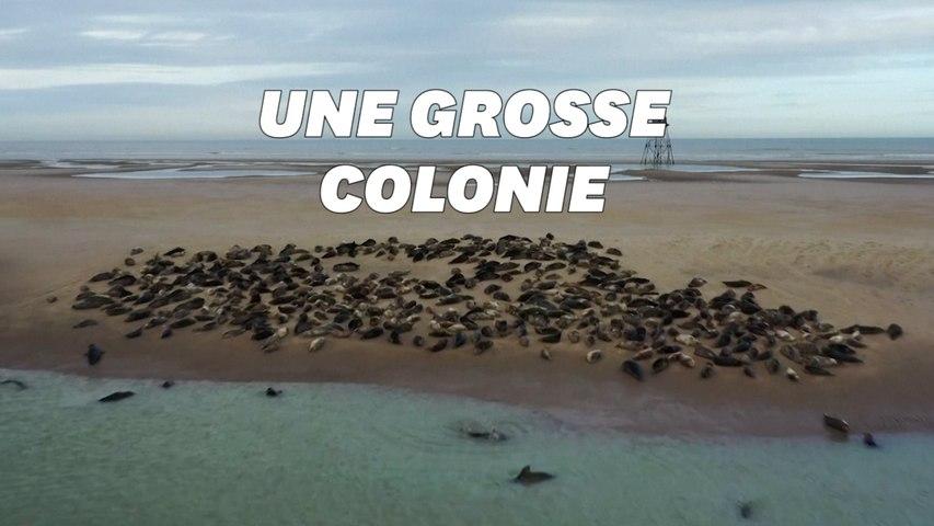 Les phoques font leur retour sur la Côte d'Opale près de Calais