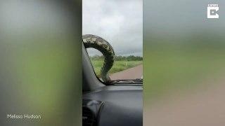 Ils découvrent un énorme Python sur leur voiture