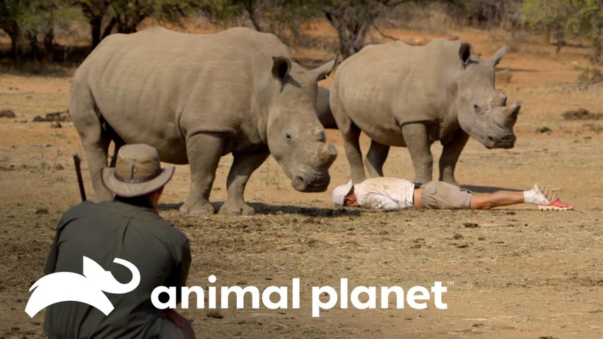 Frank se finge de morto para fugir de rinocerontes   Wild Frank vs Darran   Animal Planet Brasil