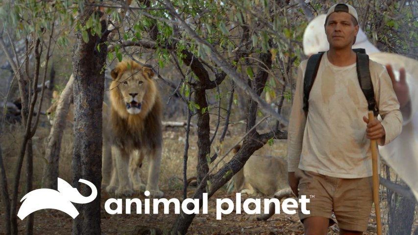 Frank e Darran presenciam leões caçando búfalos   Wild Frank vs Darran   Animal Planet Brasil