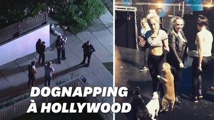 Lady Gaga offre 500.000 dollars à qui retrouvera ses deux bulldogs français volés