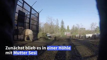Hallo Welt! Eisbärenbaby erkundet Gehege in Mülhausen