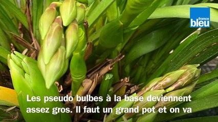 Roland Motte, jardinier : le cymbidium, l'orchidée la plus facile à entretenir