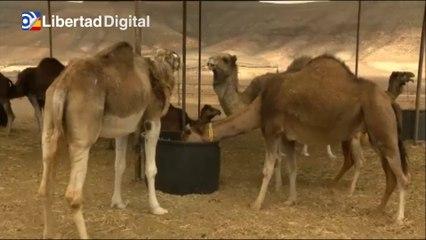 Fuerteventura busca promocionar la leche de camella, producto gourmet de lujo